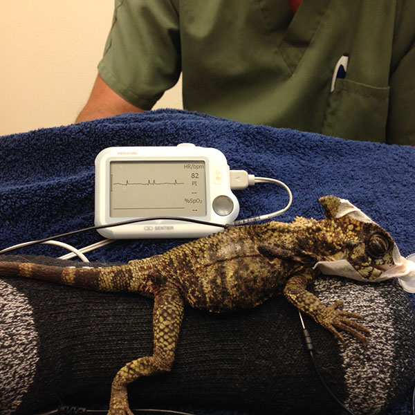 Horned lizard with patient monitor