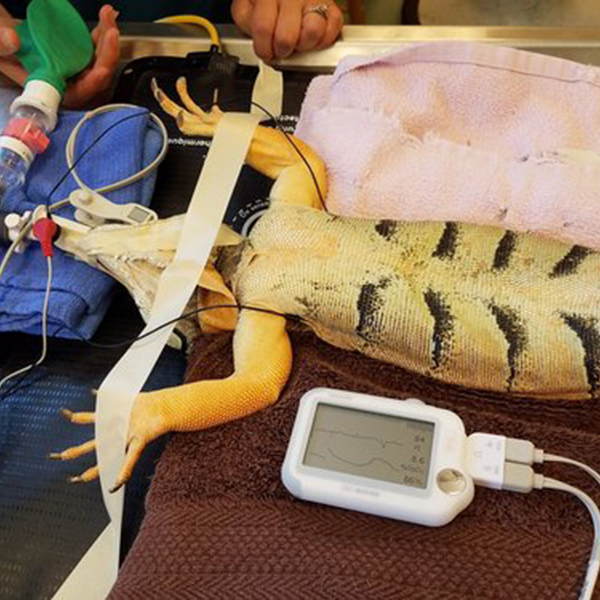 Iguana with Patient Monitor