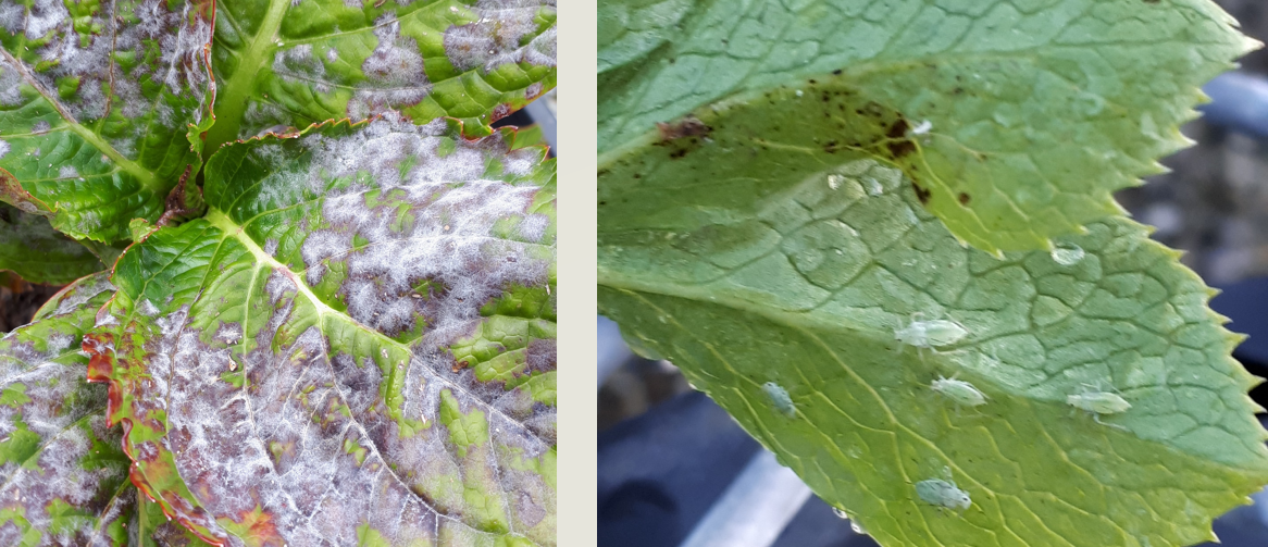 Hydrangea Pest and Disease