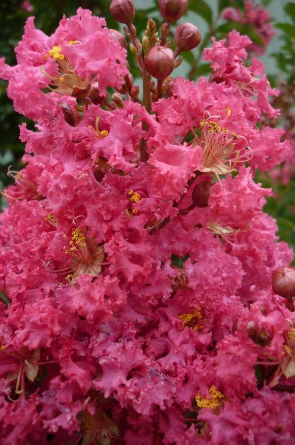 Lagerstroemia Tuscarora - crepe myrtle