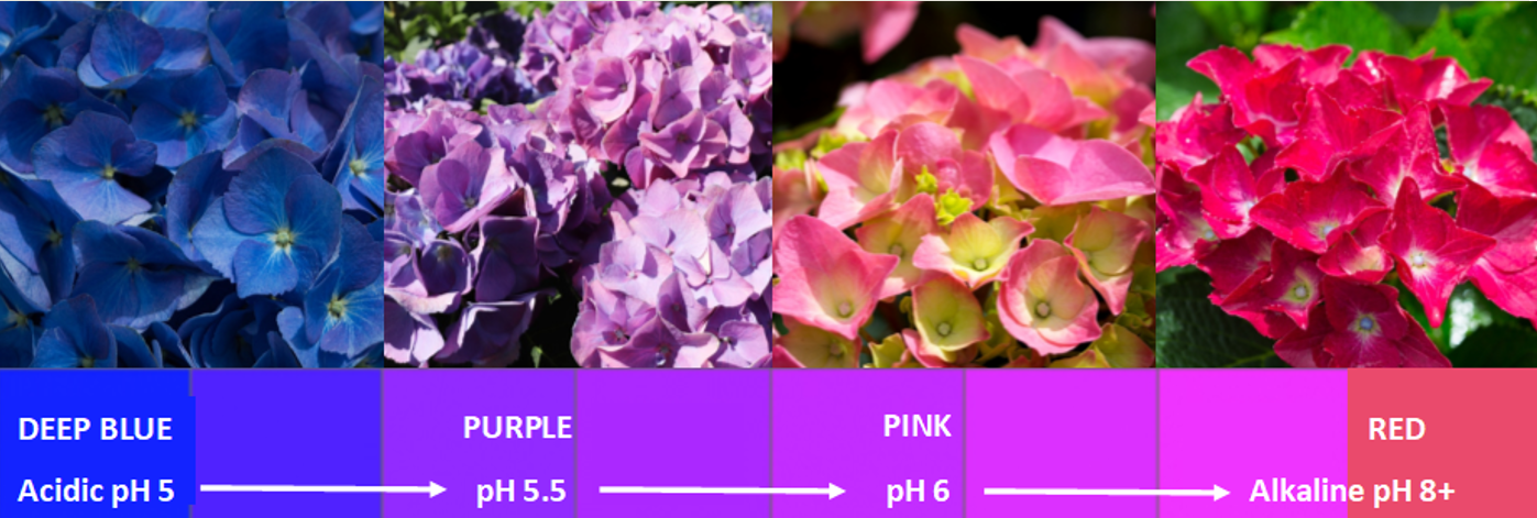 Soil pH for Hydrangea colour